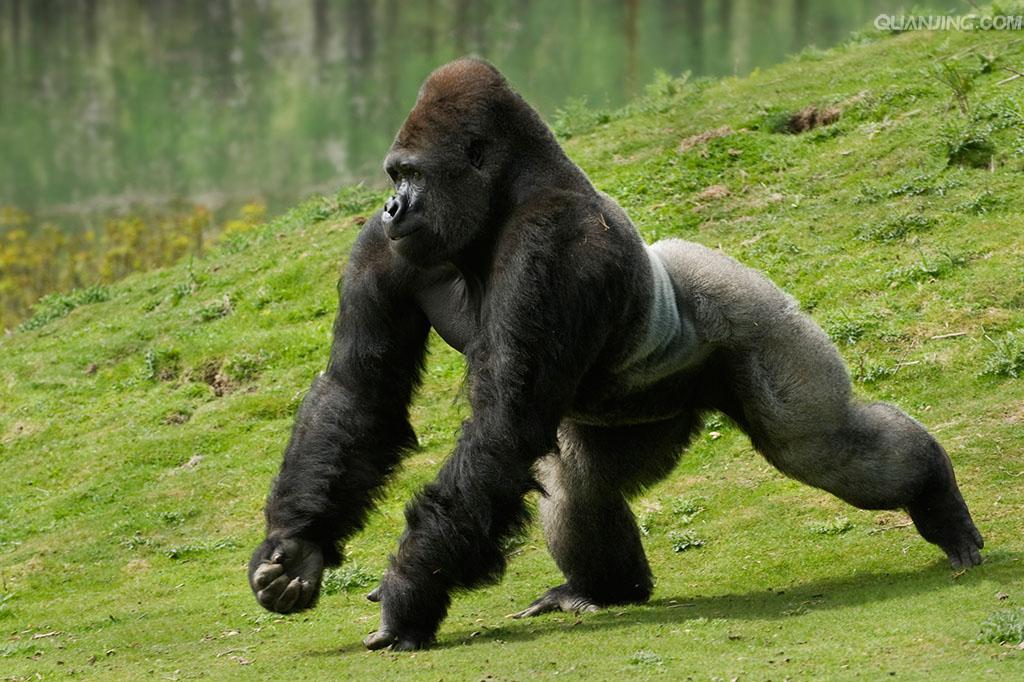 大猩猩: 是灵长目人科大猩猩类人猿的总称。分两个物种东部山地大猩猩和西部低地大猩猩。是现存所有灵长类中体型最大的种,四足状态肩高0.85米左右,站立时高1.6-1.8米。直立的大猩猩可达1.75米高,因为大猩猩的膝盖无法真正伸直,所以其实际身长比这个高度还要长一些。雄性比雌性体大。